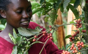 Kenya Pegs 2013-14 Coffee Export Earnings To Fall On Global Prices
