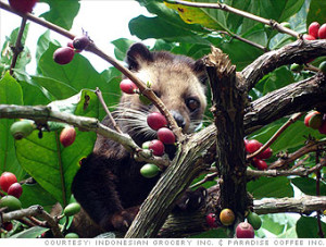 Luwak Coffee Civet In Wild Photo Courtesy Indonesian Grocery Inc