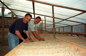 Specialty Coffee Drying on Trays in Honduras
