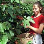 SPECIAL REPORT: Is the Honduran coffee boom over?