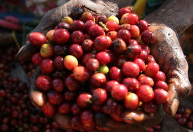 East And Central Africa Coffee Growers Report Worst Outbreak Of Twig Pest In 30 Years