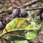 SPECIAL REPORT: Rust And Sliding Coffee Prices Sets Gloomy Outlook For 2014 Market