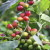 MARKET INSIGHT: Sep Arabica Coffee Surges 3.55 Cents to$1.1465 In Early Trade Jul 8 On Brazil Frost