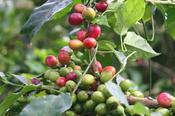 MARKET INSIGHT: Arabica Coffee Surge Ahead With Stunning Rally, End Up At $1.7175/Lb Feb 19