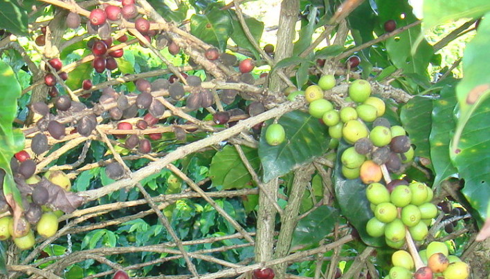 Coffee Market Back Over $2/Lb After F.O Licht Report On Brazil Drought