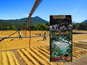 Coffee of the Day: Single Estate El Salvador Pacamara From Cafe Miralvalle In Ahuachapan | Spilling the Beans