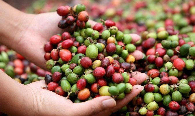 SPECIAL REPORT: How Caffeine Evolved to Help Plants Survive and Help People Wake Up