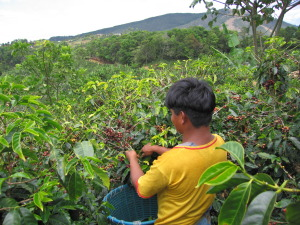 CostaCoffee-cherry-picker-san-marcos-tarrazu-costa-rica