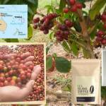 Coffee of The Day: Royal Coffee From The Kingdom of Tonga in The South Pacific
