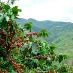 China's Booming Coffee Culture Set To Use All Home Grown Beans