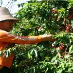 China Arabica Beans Pick Up Demand As Quality Improves