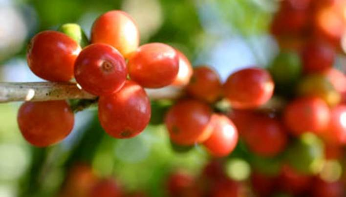 Coffee Production in China Seen Approaching 1.4M Bags in 2014-15