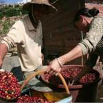 Coffee Quality In China Started To Improve With Nestle