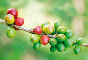 Coffee Price Weaken On Revised USDA Production Forecast For Brazil