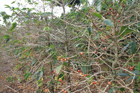 Mexico 2013-14 Coffee Harvest Down 40% On Rust — Se confirma una reducción de hasta 40%