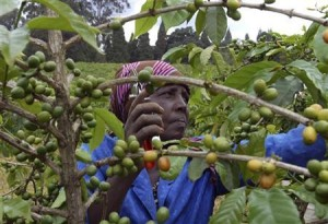 A farmer prunes her coffee bushes at a family plantation in Kiambu district, May 28, 2008.   REUTERS/Noor Khamis