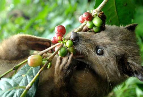 LUWAK DEBATE: Standing up for Luwak growers