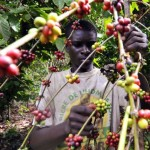 Nestlé Opens Experimental Farm in Ivory Coast For Coffee As War Effects Linger
