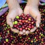Blog del Café: Un año difícil para el café peruano