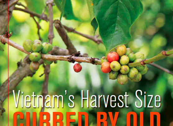 HARVEST ANALYSIS: Vietnam's 2015-16 Coffee Harvest Size Cut Short By Old Coffee Trees