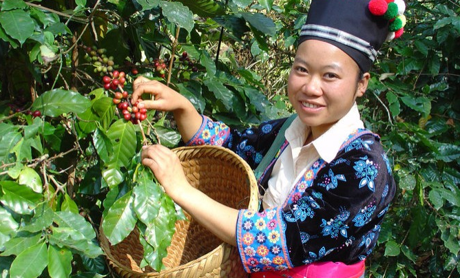 SPECIAL REPORT: Laos Continues To Expand Arabica Coffee Production