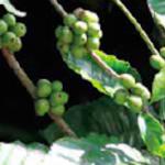 Blog de Café: Rabobank estima elevação nos preços do café robusta se importações forem autorizadas no Brasil