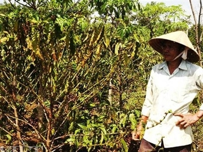 BREAKING NEWS: El Niño Hits Vietnam's Main Coffee Region With Worst Drought In 90 Years