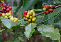 HARVEST ANALYSIS: Brazil's Conab Confirms Lower Figure For 2016-17 Coffee Harvest At 49.6M Bags In 3rd Review