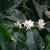 Floração irregular e queda de frutos podem reduzir a já comprometida produção de café no Brasil em 2017
