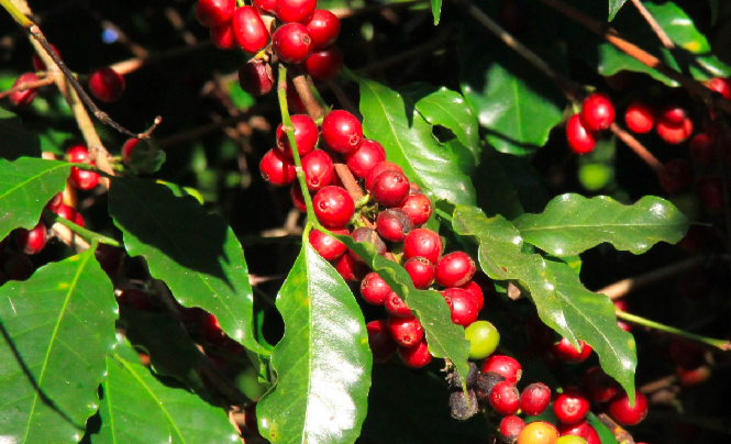 Brazil's Conab Says 2017-18 Coffee Harvest To Drop Up To 15% To As Low As 43.65M Bags