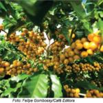 Blog del Café: No Brasil, Iapar lança café resistente aos principais nematoides da cultura