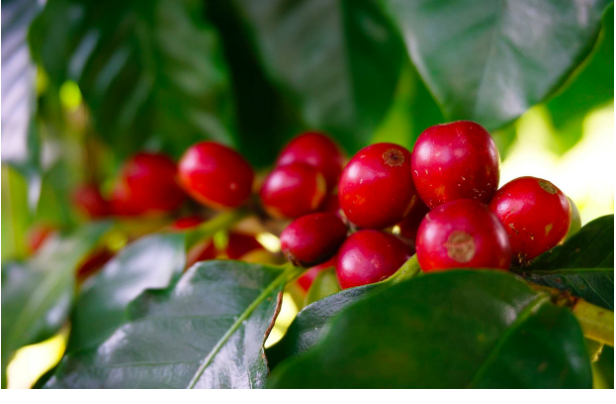 SPECIAL REPORT: In the Arabica Coffee Market equation, what's with the Naturals