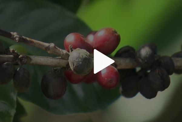 Produtores enfrentam quebra da safra do café arábica em MG e no ES